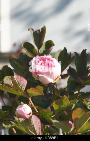 Paeonia suffruticosa, Shrub peony