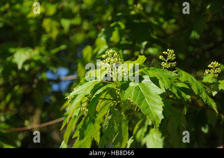 acer ginnala amur maple stock photo royalty free image 127419820 alamy. Black Bedroom Furniture Sets. Home Design Ideas