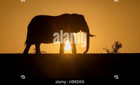 African elephant (Loxodonta africana), silhouette at sunset, Zimanga Private Game Reserve, KwaZulu-Natal, South - Stock Photo