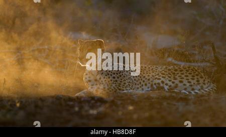 Cheetah (Acinonyx jubatus), attentive adult female, evening light, Zimanga Private Game Reserve, KwaZulu-Natal, - Stock Photo