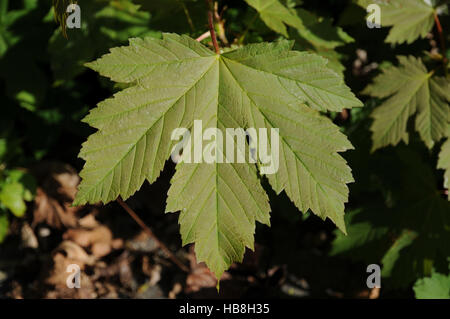 Acer pseudoplatanus, Sycamore maple Stock Photo