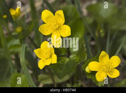 Marsh marigold     Caltha palustris - Stock Photo