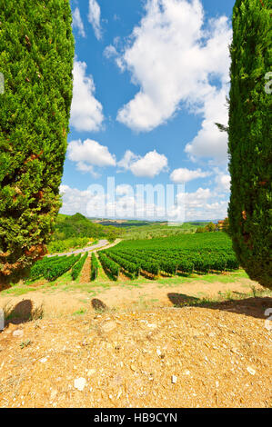Cypresses - Stock Photo