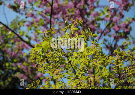 Acer griseum, Paperbark maple - Stock Photo