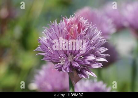 Allium schoenoprasum, Chives - Stock Photo