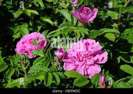 rugosa rose hips rosa rugosa apfelrose hagebutten pflanzen plants stock photo royalty free. Black Bedroom Furniture Sets. Home Design Ideas