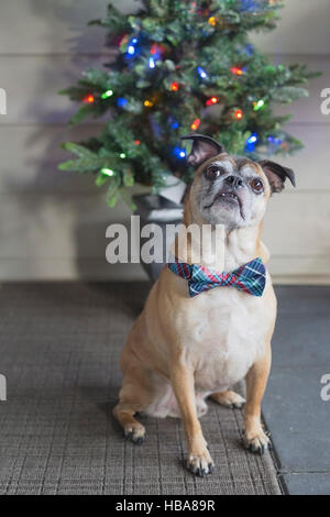 Bugg dog (crossbred Boston Terrier and Pug) with bow tie in front of Christmas tree - Stock Photo