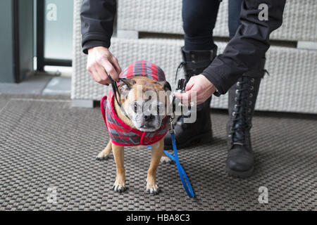 Woman getting her dog ready to go out for a walk in cold weather (Bugg dog, cross between Boston Terrier and Pug) - Stock Photo