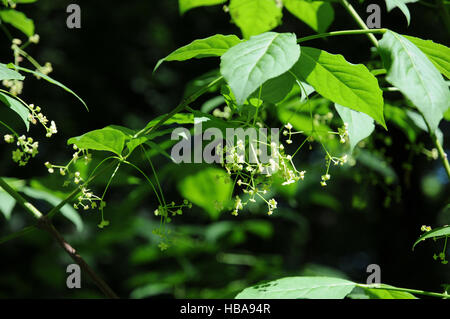 Euonymus latifolius, Largeleaf spindle - Stock Photo