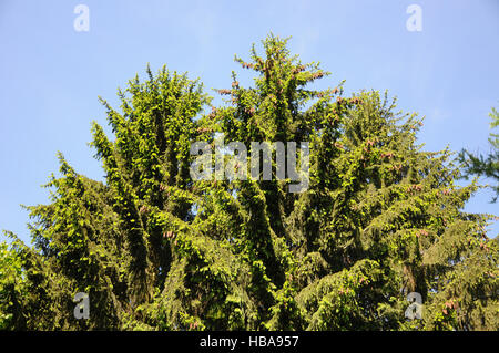 Picea abies, Norway spruce - Stock Photo