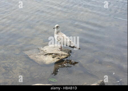 Juvenile mew (Larus Canus) gull perched on a rock. - Stock Photo