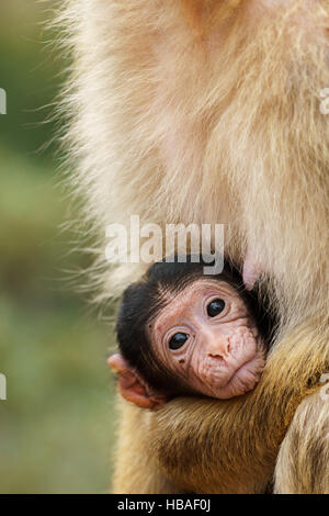 Portrait of a Barbary macaque cub looking at the camera while holding it by its mother, close-up - Stock Photo