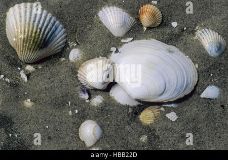 Conches in Wadden Sea / St. Peter Ording - Stock Photo