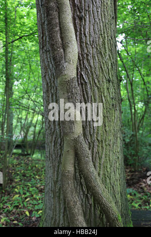 Common ivy trunk, hedera helix - Stock Photo