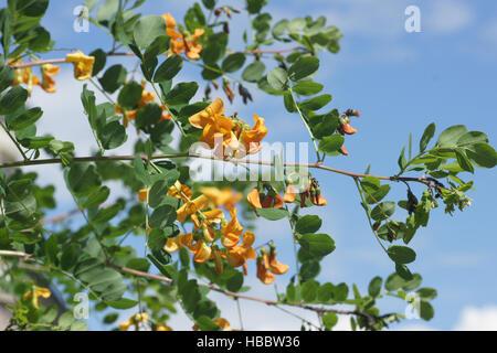 Colutea arborescens, Bladder senna - Stock Photo