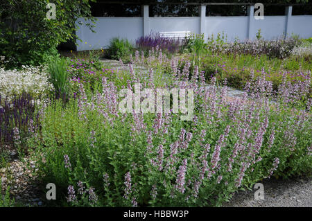 Stachys officinalis Rosea, Woundwort - Stock Photo