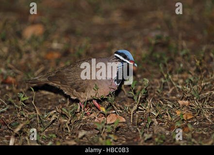 Blue-headed Quail-dove (Starnoenas cyanocephala) adult walking on forest floor  Zapata Peninsula, Cuba          - Stock Photo