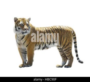 Tiger on White Background - Stock Photo