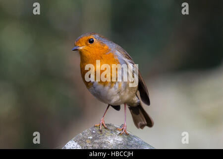London, UK. 5th December, 2016. A robin (Erithacus rubecula) basks in the sunshine in an east London park this afternoon. - Stock Photo