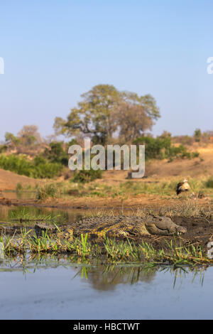 Nile crocodile (Crocodylus niloticus), Kruger national park, South Africa - Stock Photo