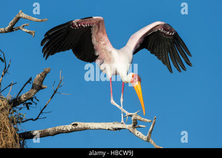 Yellow-billed stork (Mycteria ibis), Chobe River, Botswana - Stock Photo