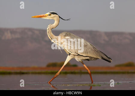 Grey heron (Ardea cinerea)  hunting, Zimanga private game reserve, KwaZulu-Natal, South Africa - Stock Photo