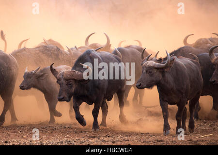 Cape buffalo (Syncerus caffer) herd, Zimanga private game reserve, KwaZulu-Natal, South Africa - Stock Photo