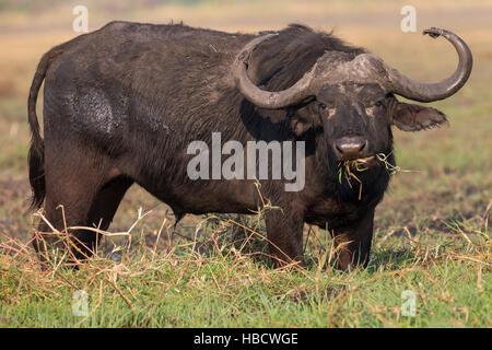 Cape buffalo (Syncerus caffer), Chobe river, Botswana - Stock Photo