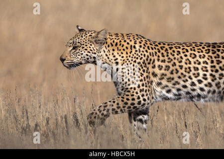 Leopard female (Panthera pardus), Kgalagadi transfrontier park, South Africa - Stock Photo