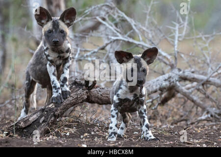 African wild dog pups (Lycaon pictus), Zimanga private game reserve, KwaZulu-Natal, South Africa - Stock Photo
