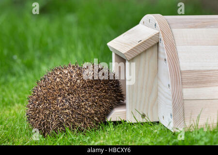Hedgehog (Erinaceus europaeus) entering hedgehog house, captive, UK - Stock Photo