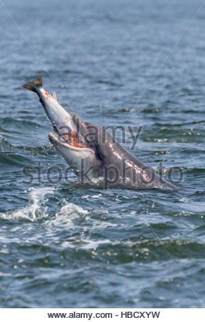 Bottlenose dolphin (Tursiops truncatus) with salmon, Fortrose, Moray Firth, Scotland, UK - Stock Photo