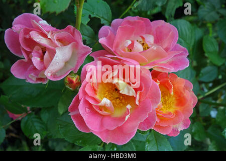 shrub rose Herzogin Friederike - Stock Photo