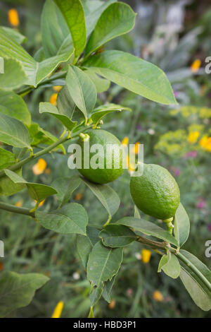 Two immature lemon on a branch in a garden - Stock Photo