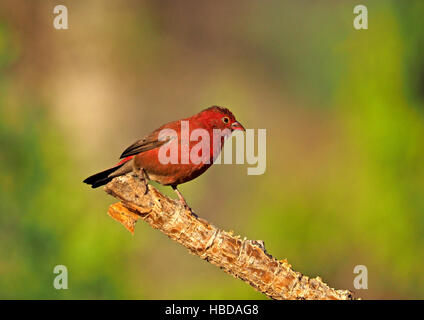 Male Red-Billed Firefinch (Lagonosticta senegala) perched on tip of flaking branch at Lake Baringo Rift Valley Kenya - Stock Photo