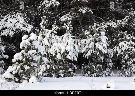 Young pine trees covered with snow - Stock Photo