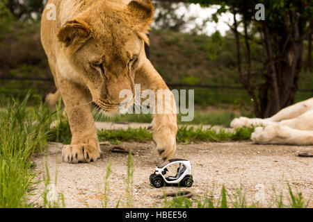 Unique pictures: lion playing with a small model car Renault twizy in safari park - Stock Photo