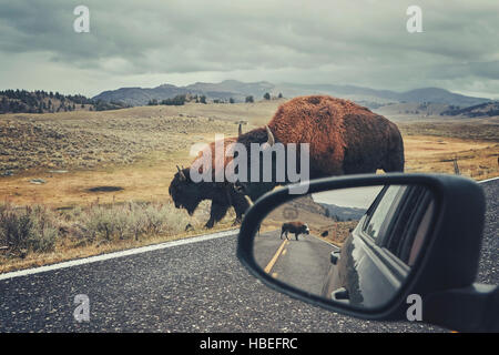 Retro toned photo of American bison (Bison bison) on a road seen from car driver seat in Grand Teton National Park, - Stock Photo