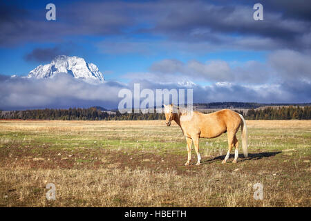 Grazing horse in the Grand Teton National Park, Wyoming, USA. - Stock Photo