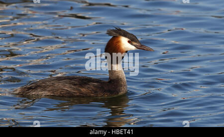 Great Crested Grebe, (Podiceps cristatus) - Stock Photo