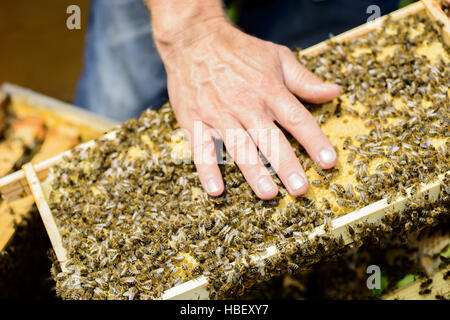 Honeycomb frame with bees - Stock Photo