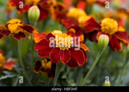 Tagetes patula. French marigolds growing in the garden. - Stock Photo