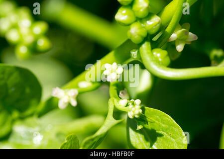 White little flower of basella alba on farm - Stock Photo