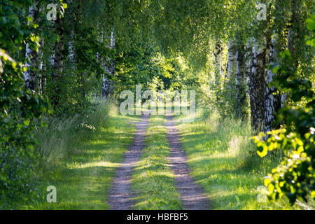 Two traces - Birch allee - Stock Photo