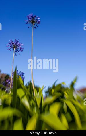 Purple allium flowers - Stock Photo