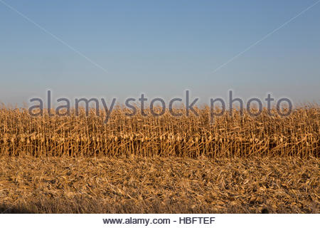 A cornfield in Iowa. - Stock Photo
