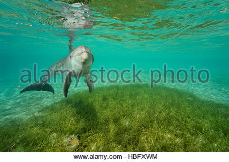 A semi-captive bottlenose dolphin swims at the Roatan Institute for Marine Science at Anthony's Key Resort in Roatan, - Stock Photo