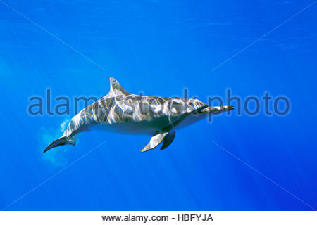 A spinner dolphin, Stenella longirostris, swims in waters off Oahu, Hawaii. - Stock Photo