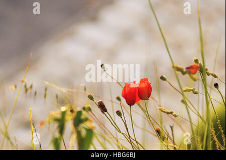Poppies on the beach
