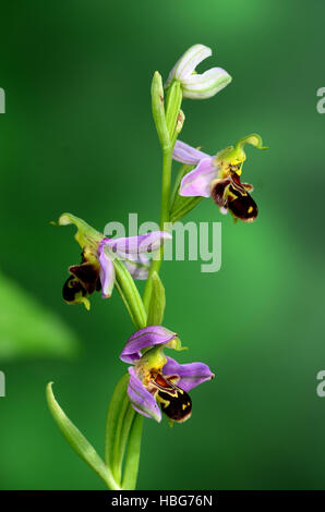 orchid, bee orchid, Ophrys apifera - Stock Photo